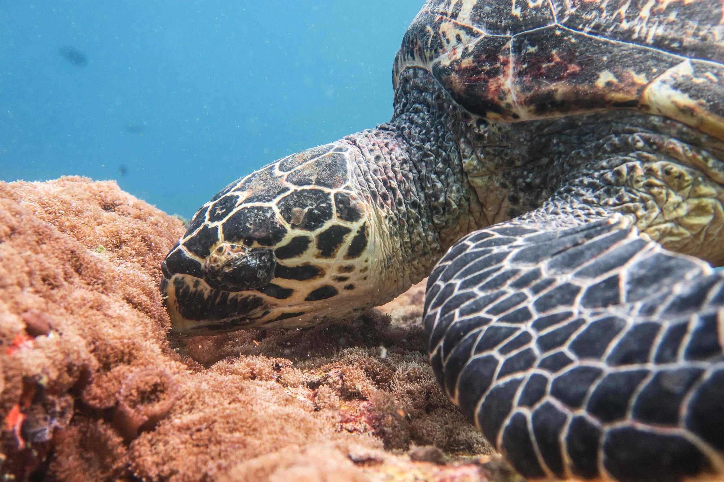 Scuba Diving in The Maldives, Underwater Photography, Turtle