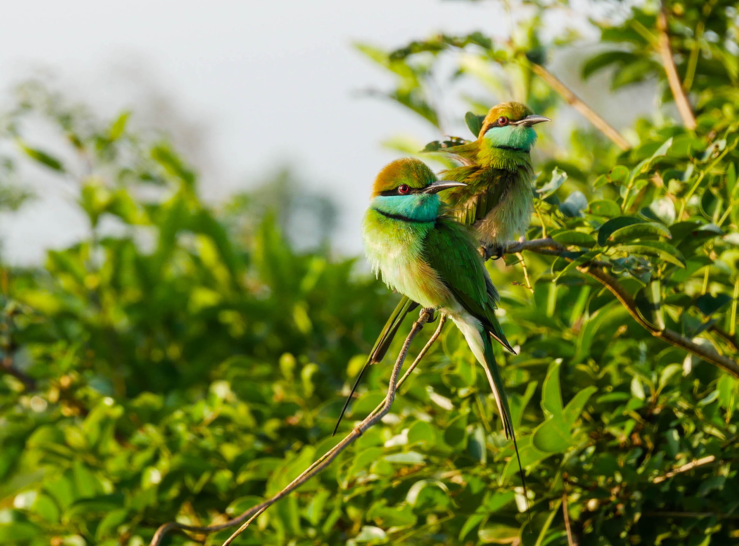 Sri Lanka, Wildlife photography, Little Green Bee Eater