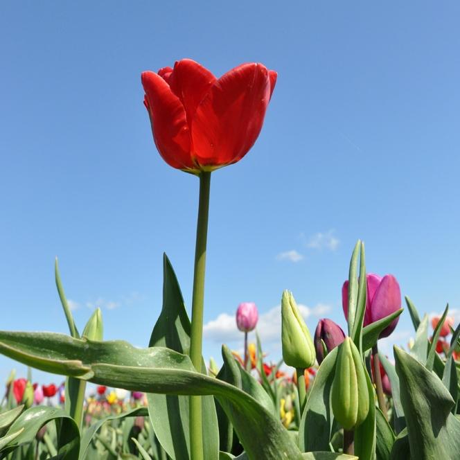 Tulip Festival, Apr 2011