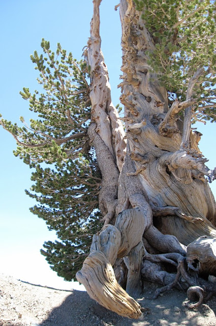 Bristlecone Pine - one of the oldest trees in the world