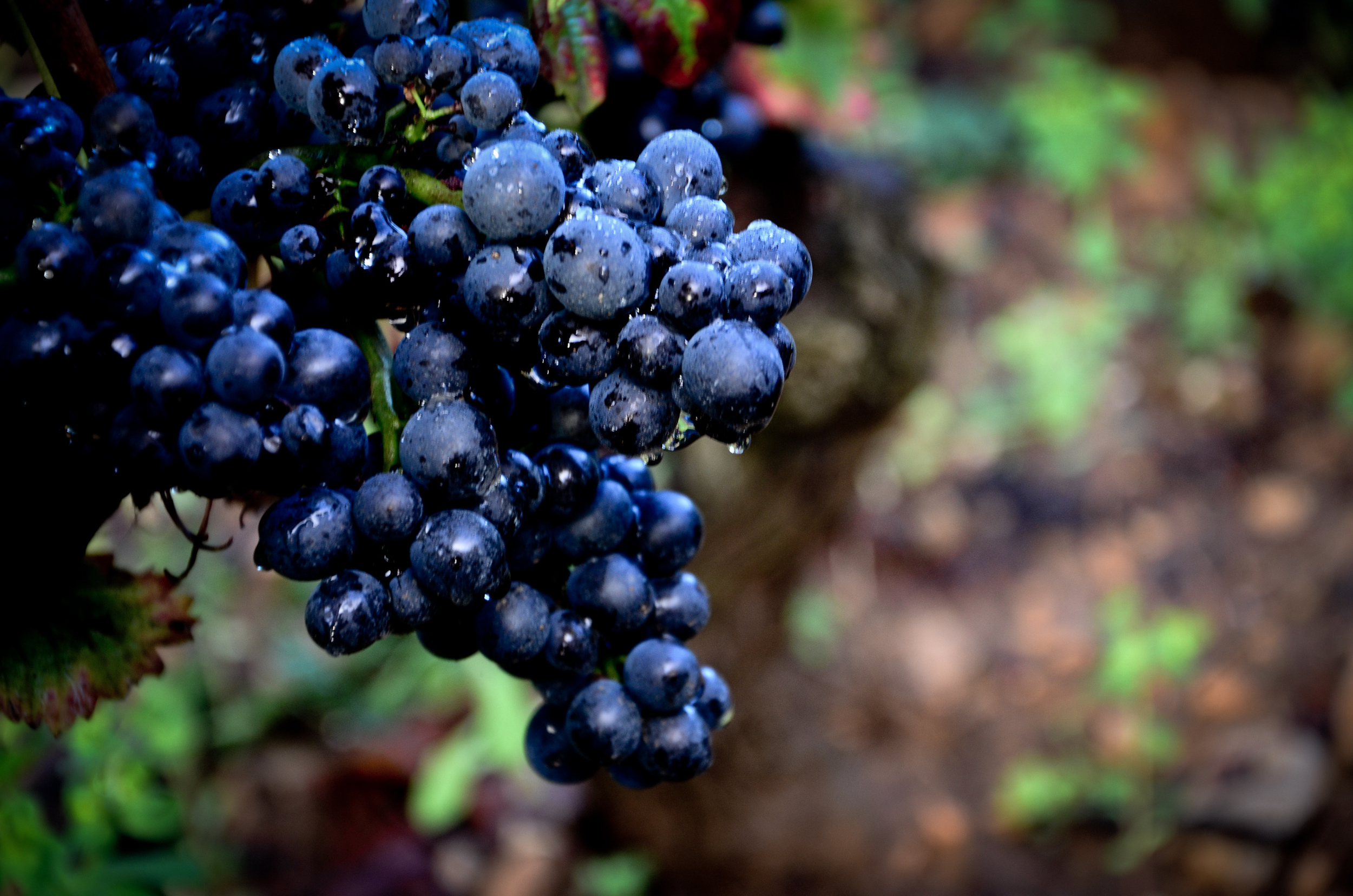 Hungry_Cyclist_Burgundy_Harvest12-83.jpg
