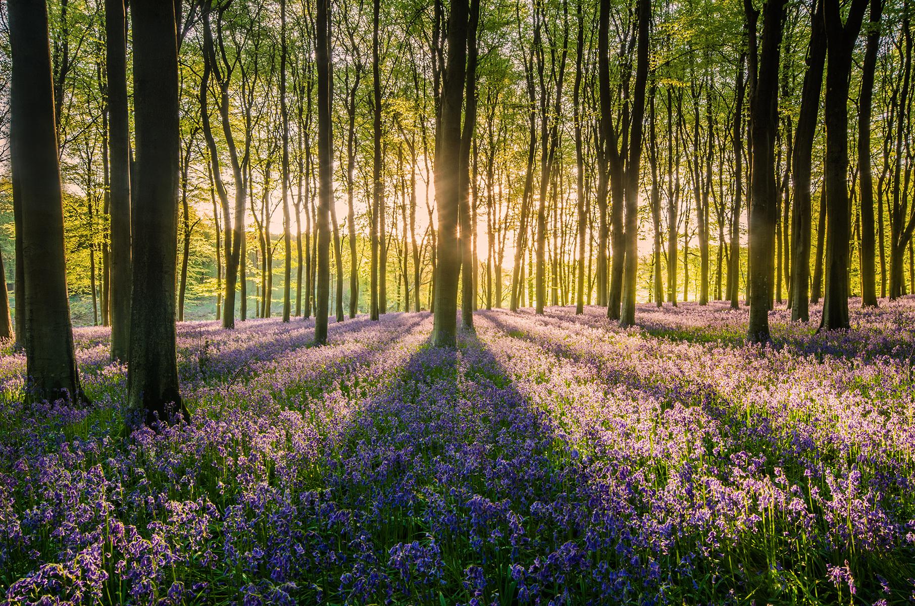 Micheldever bluebells, UK.jpg
