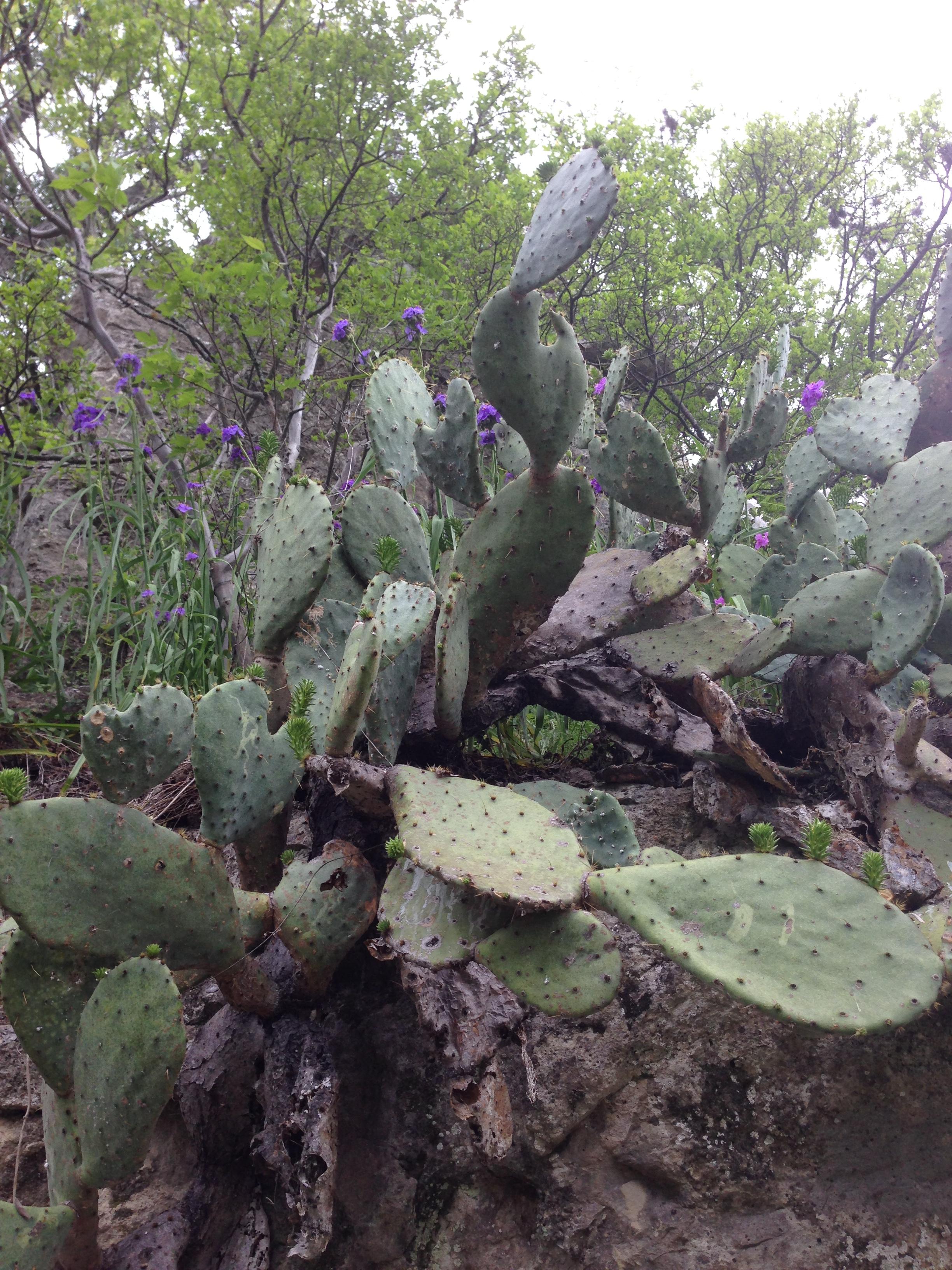 spiderwortcacti.jpg