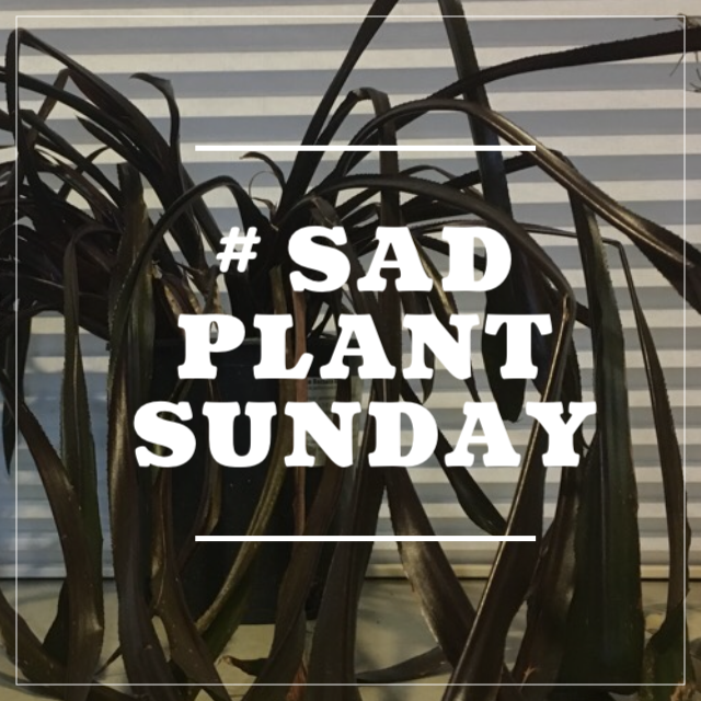 On Sundays, I will try to help someone solve a problem with a sad plant.Indoor and outdoor plant submissions are welcome. To submit to #SadPlantSunday, send me a photo of your plant and a description of the situation. You can direct message @deltadawngardens on  Instagram ,post on Delta Dawn Gardens' Facebook , or email leah@deltadawngardens.com.