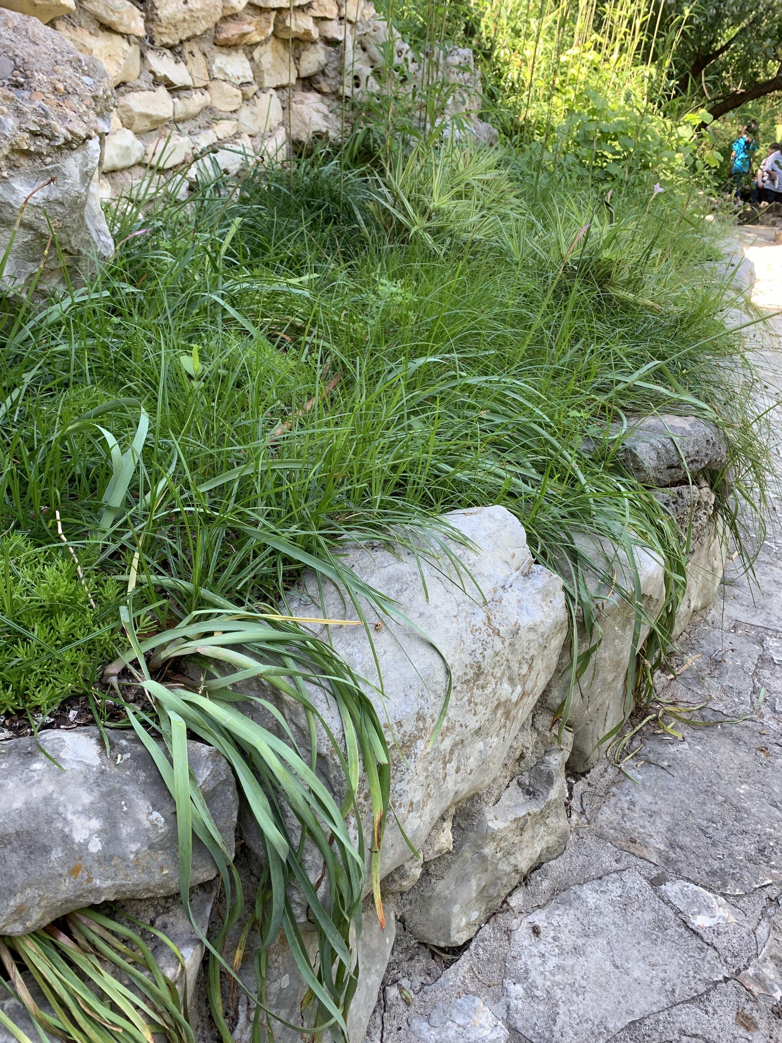 Rain lilies, asparagus fern, and grasses drape over a limestone edge.