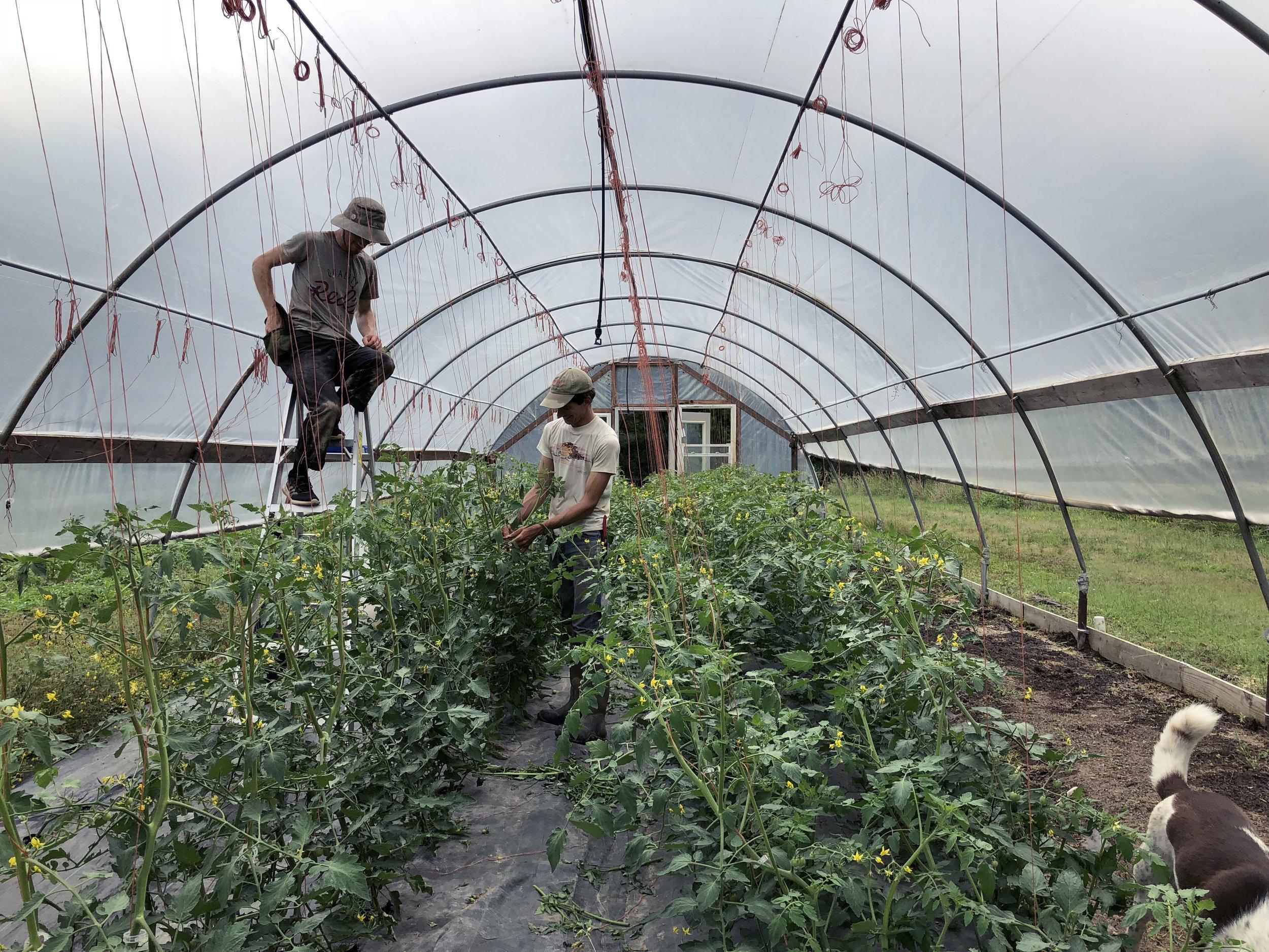 Tomato Hoophouse.jpg