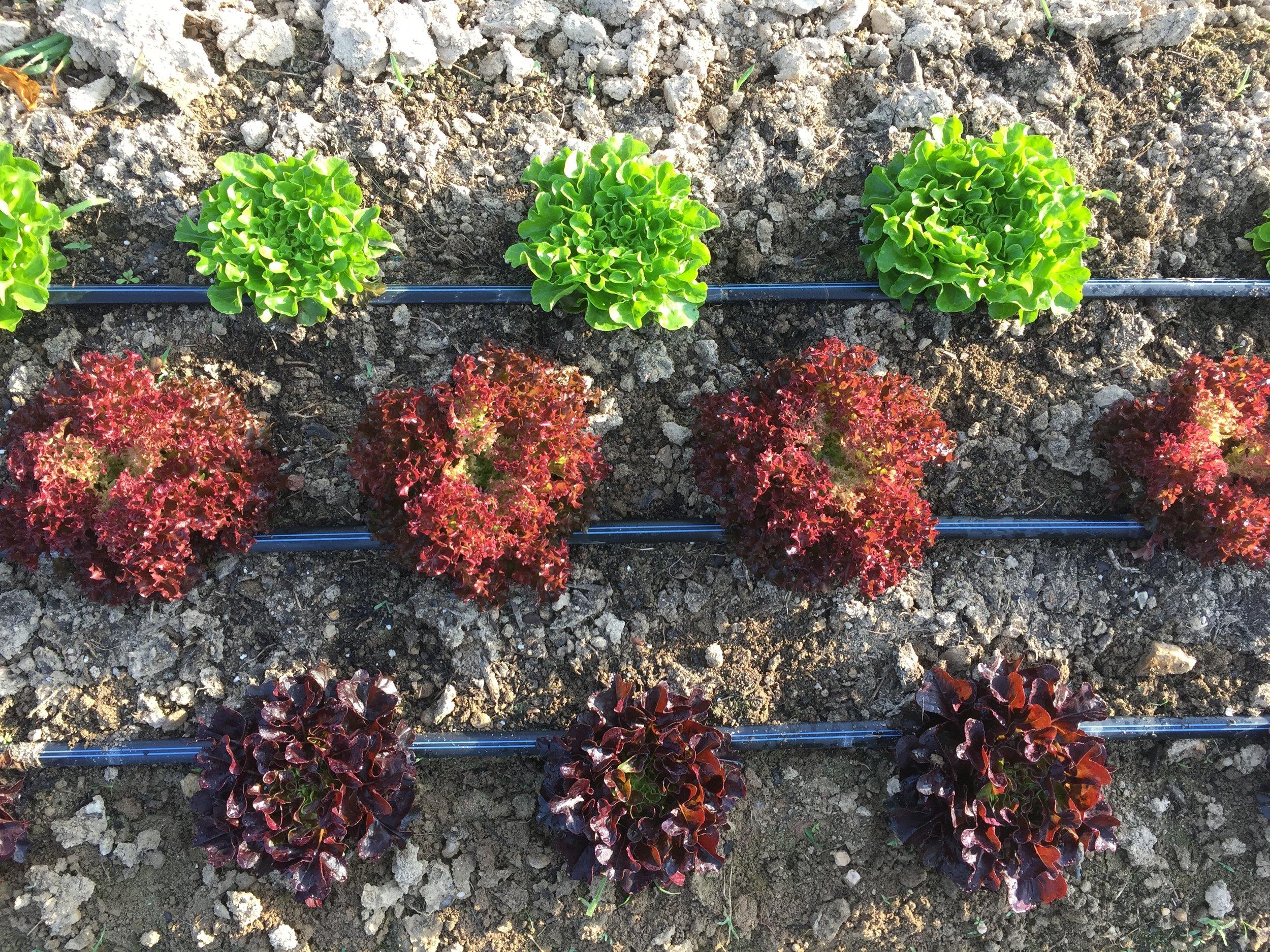 Summer Lettuce .JPG