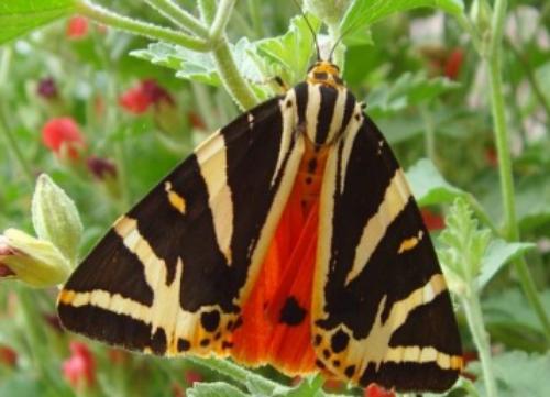 Jersey Tiger Euplagia quadripunctaria: showing under-wings.