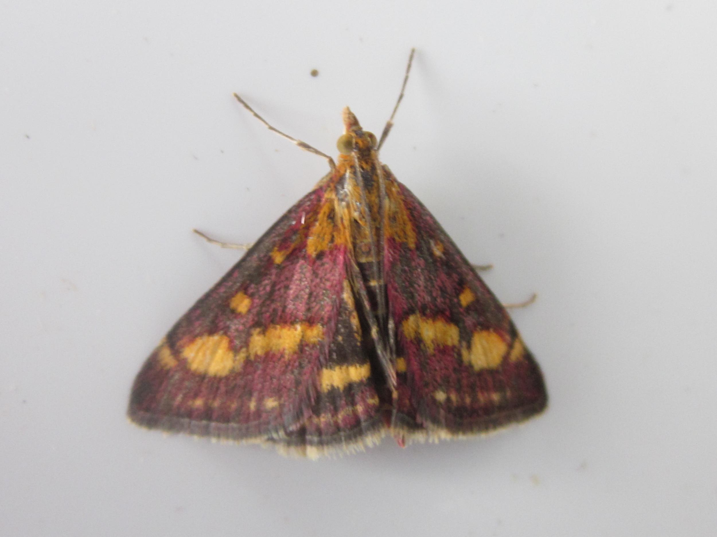 Mint Moth  Pyrausta purpuralis : photographer Bill Mason