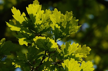 Oak leaves work in the sunshine