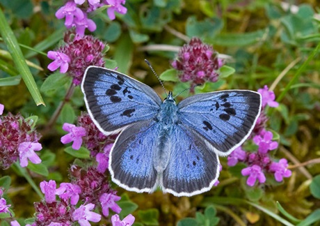 Large Blue ( Maculinea arion ) - The largest and rarest of our blue butterflies
