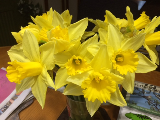 Daffodils; the first part of the plants mechanism to produce seeds. © Paul Richens