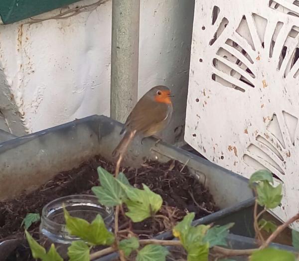 The Skip Garden robin is always keen to lend a bill  © Julie Riehl