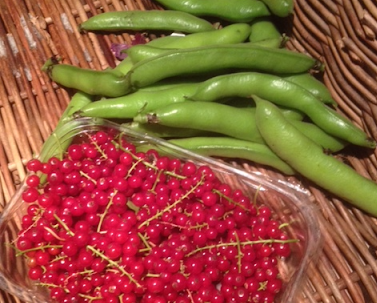 A summer harvest of Red Currants and broad beans (copyright: Zoë Petersen)