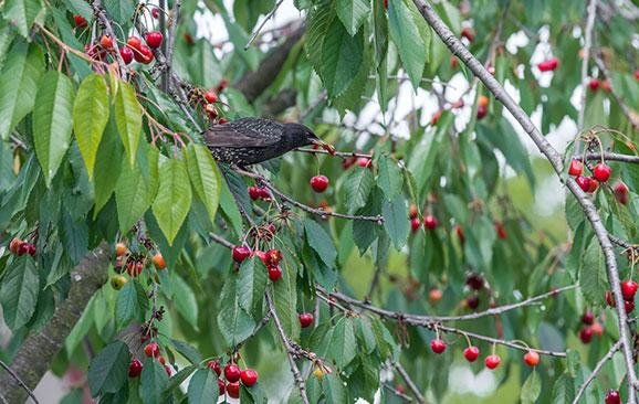 Birds also love fruit and are somehow able to always get there before you. Net to protect.