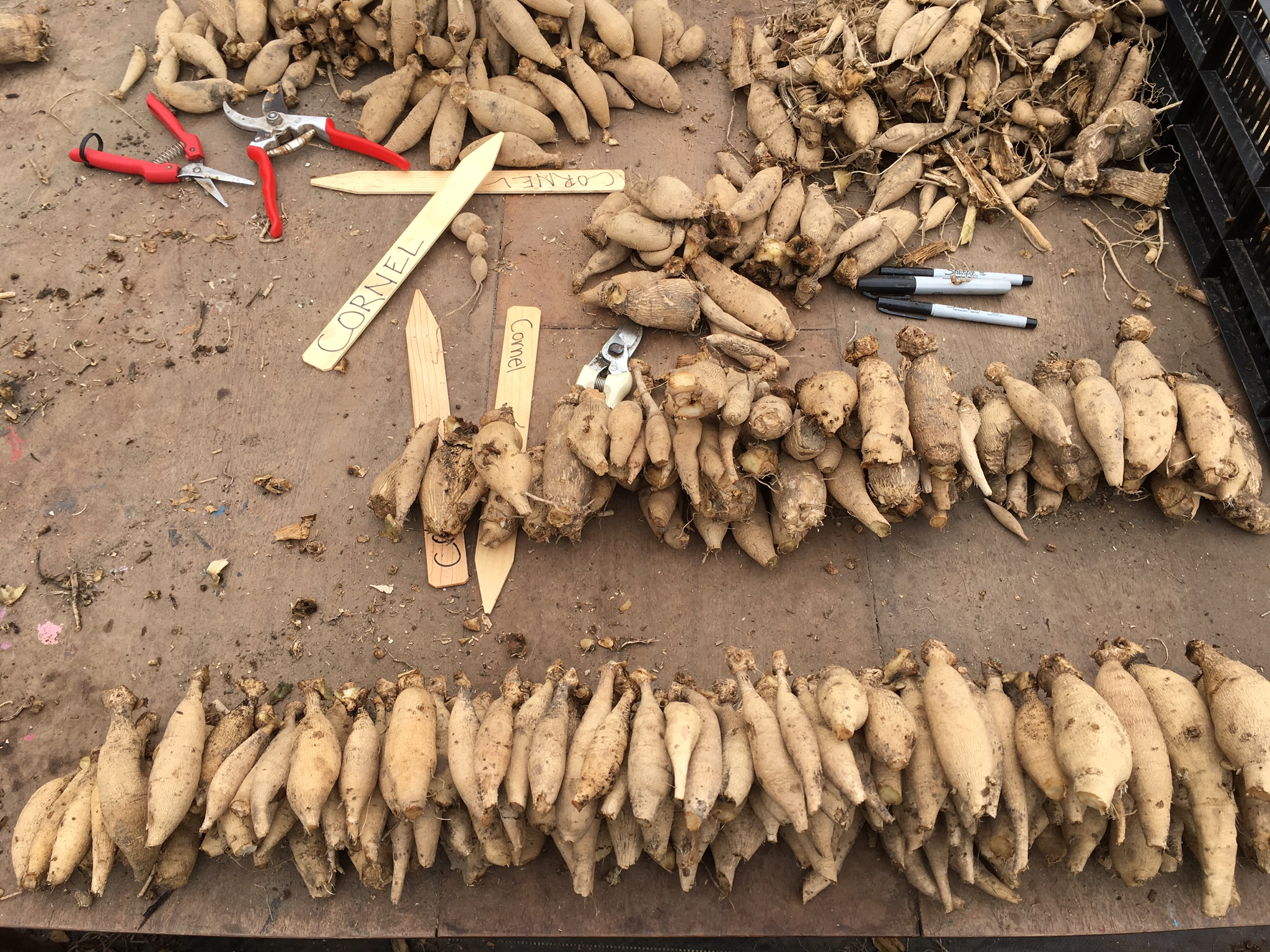 Dahlia tubers being divided for shipment from Floret.