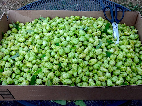 Hops ready to dry