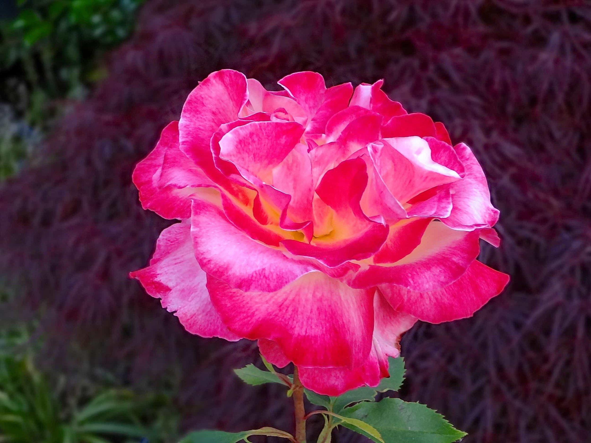 A Rose City rose