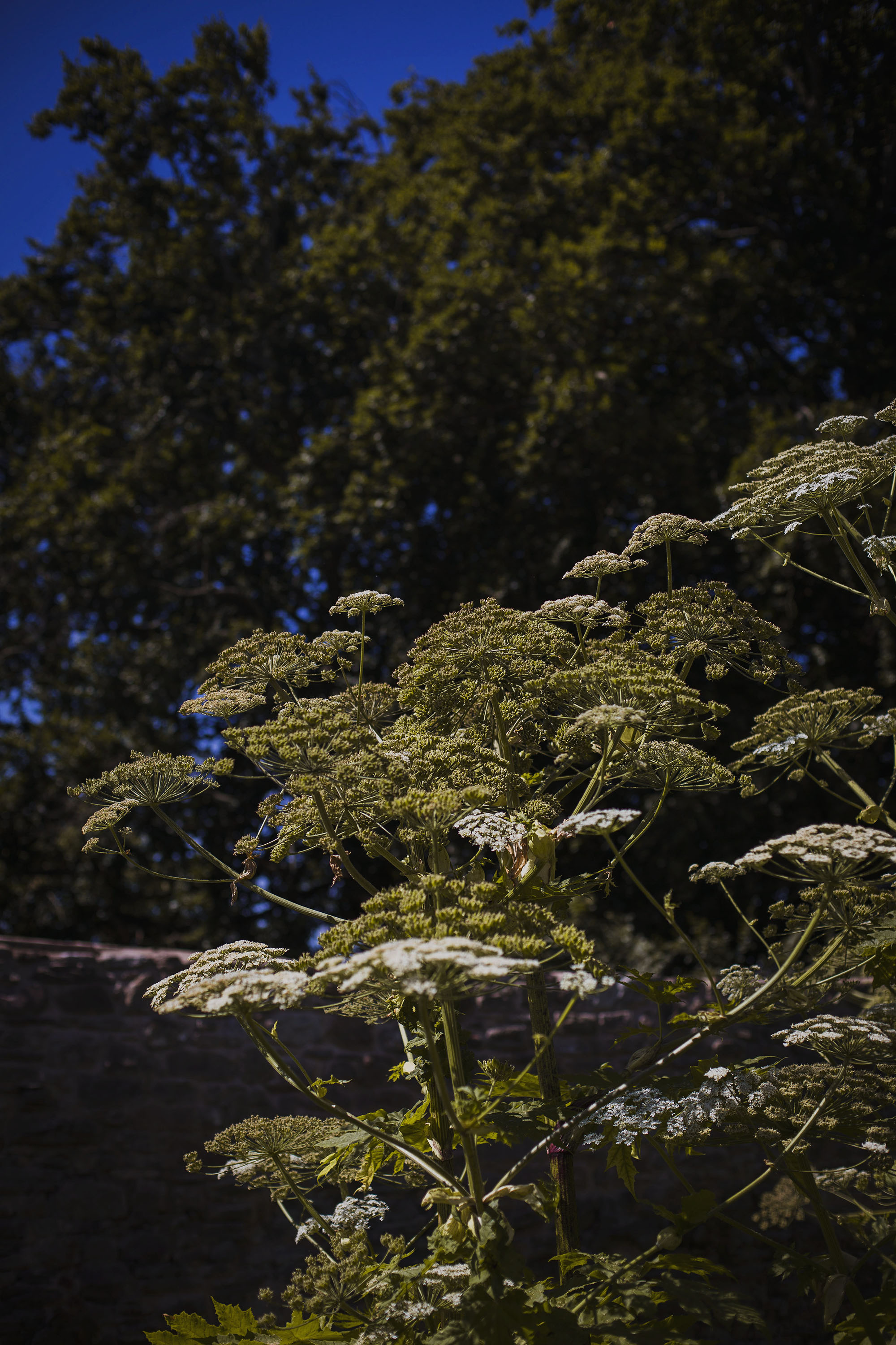tall plants at usk castle