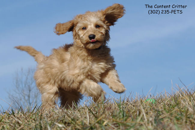 Toby-doodle-puppy-play.jpg