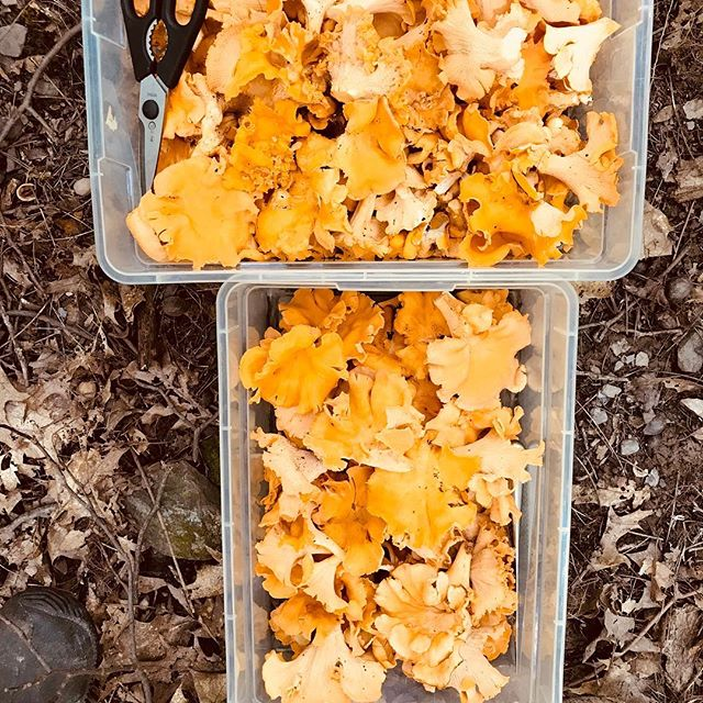 Foraged chanterelles #foragedmushrooms