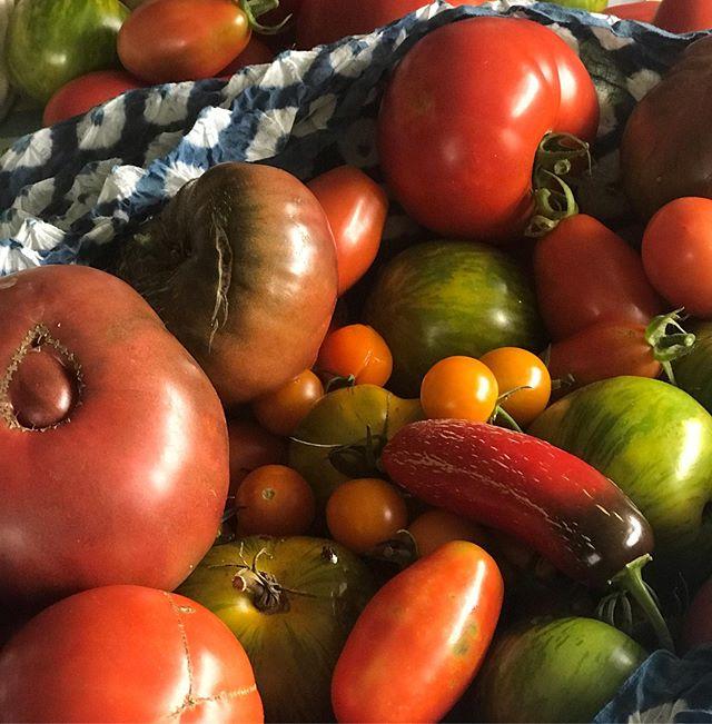 Today's garden haul.#heirloom tomatoes#shibori#gardening#tomatoes