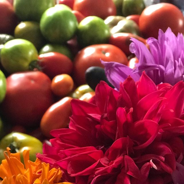 Garden tomatoes and dahlias. Last days of the green zebra tomatoes and heirloom tomatoes. #tomatoes#green zebratomatoes#dahlia#gardening #columbiacountygardens