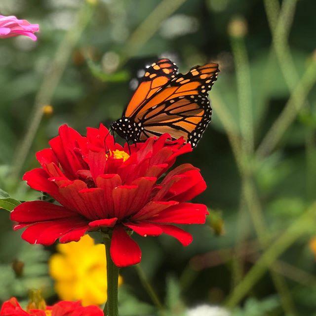 Feed the butterflies #monarchbutterfly #zinnia