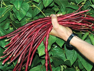 Chinese Red Noodle Beans - new for 2015!