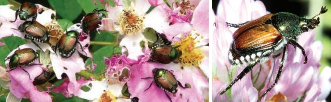 Japanese Beetles feeding on roses: flickr.com/photos/georgesgewels/2643035643/, Adult on flower: Kevin D Arvin, forestryimages.org.