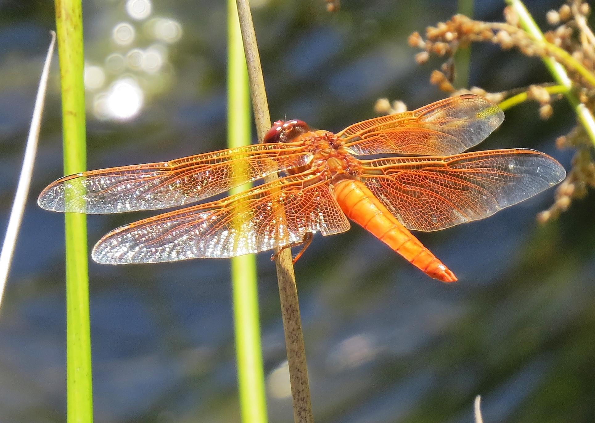 Dragonfly - Flame Skimmer,  Libellula saturata -  Westmoreland Park