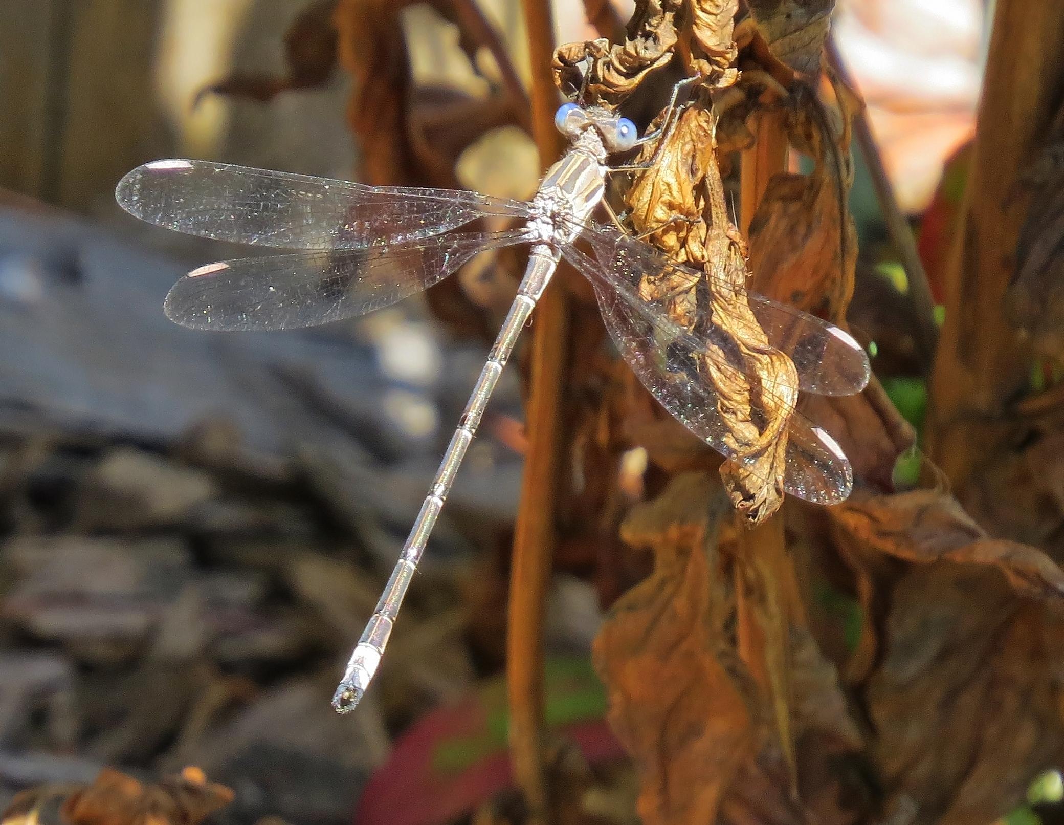 Damselfly - California Spreadwing,  Archilestes californica-  Westmoreland Park