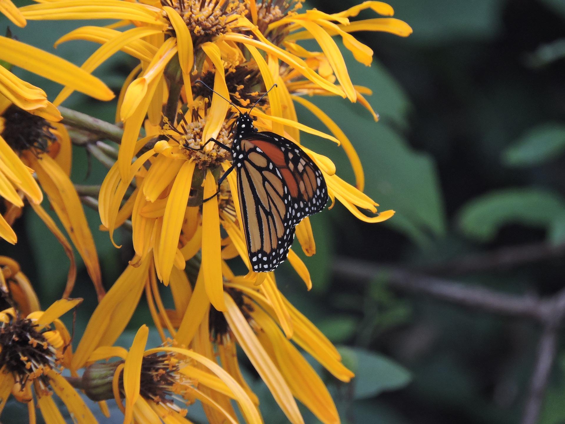 Ligularia and monarch.jpg
