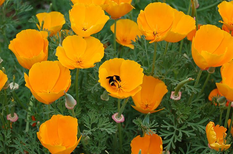 Cali Poppies-1 lr.jpg