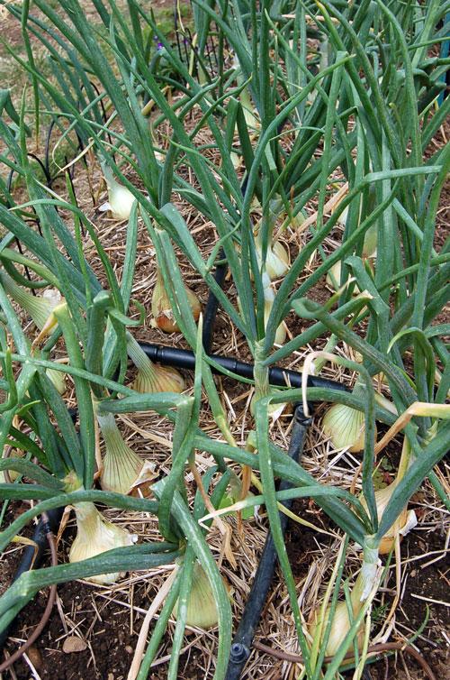 Onions-lr.jpg