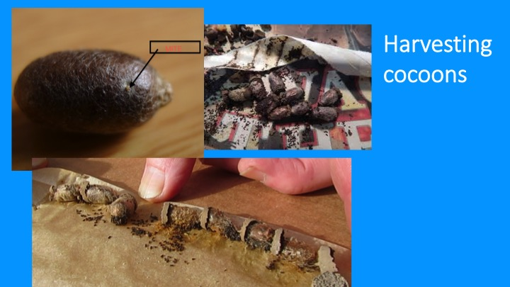 carefully remove cocoons from trays or tubes