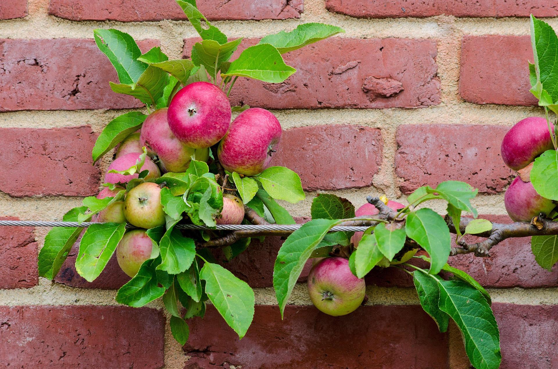 apple espalier.jpg