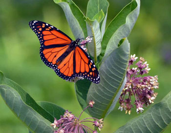 monarch-on-milkweed.jpg