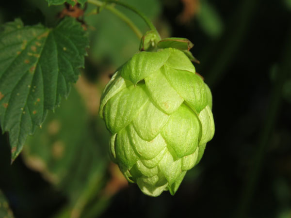 Hops_closeup.jpg