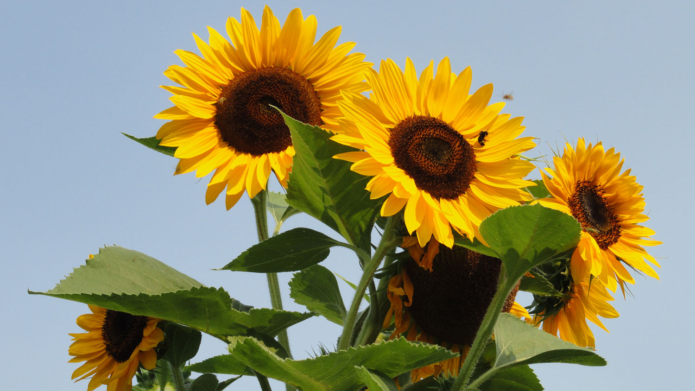 sunflowers-web.jpg