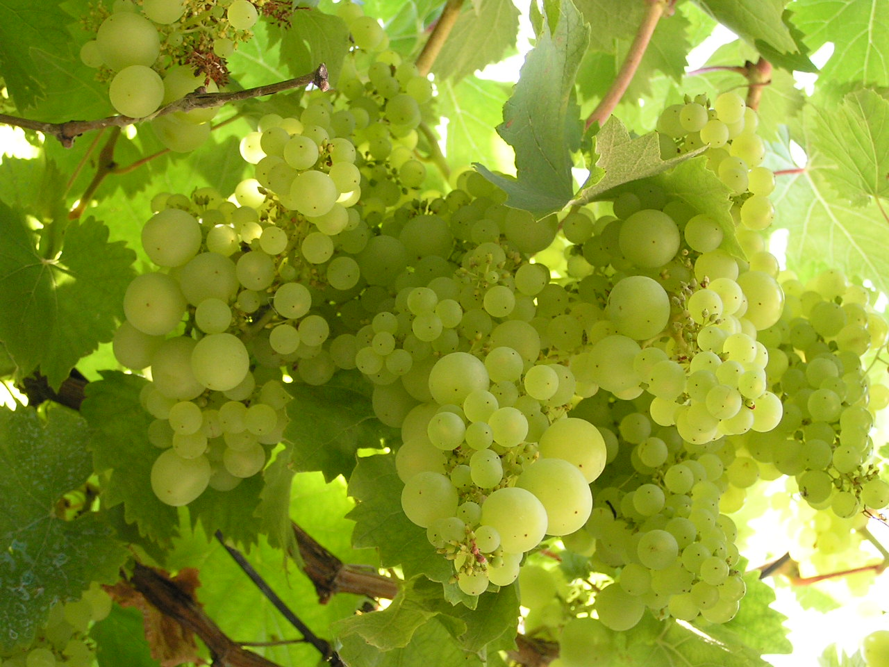 Sun shining through grapevines