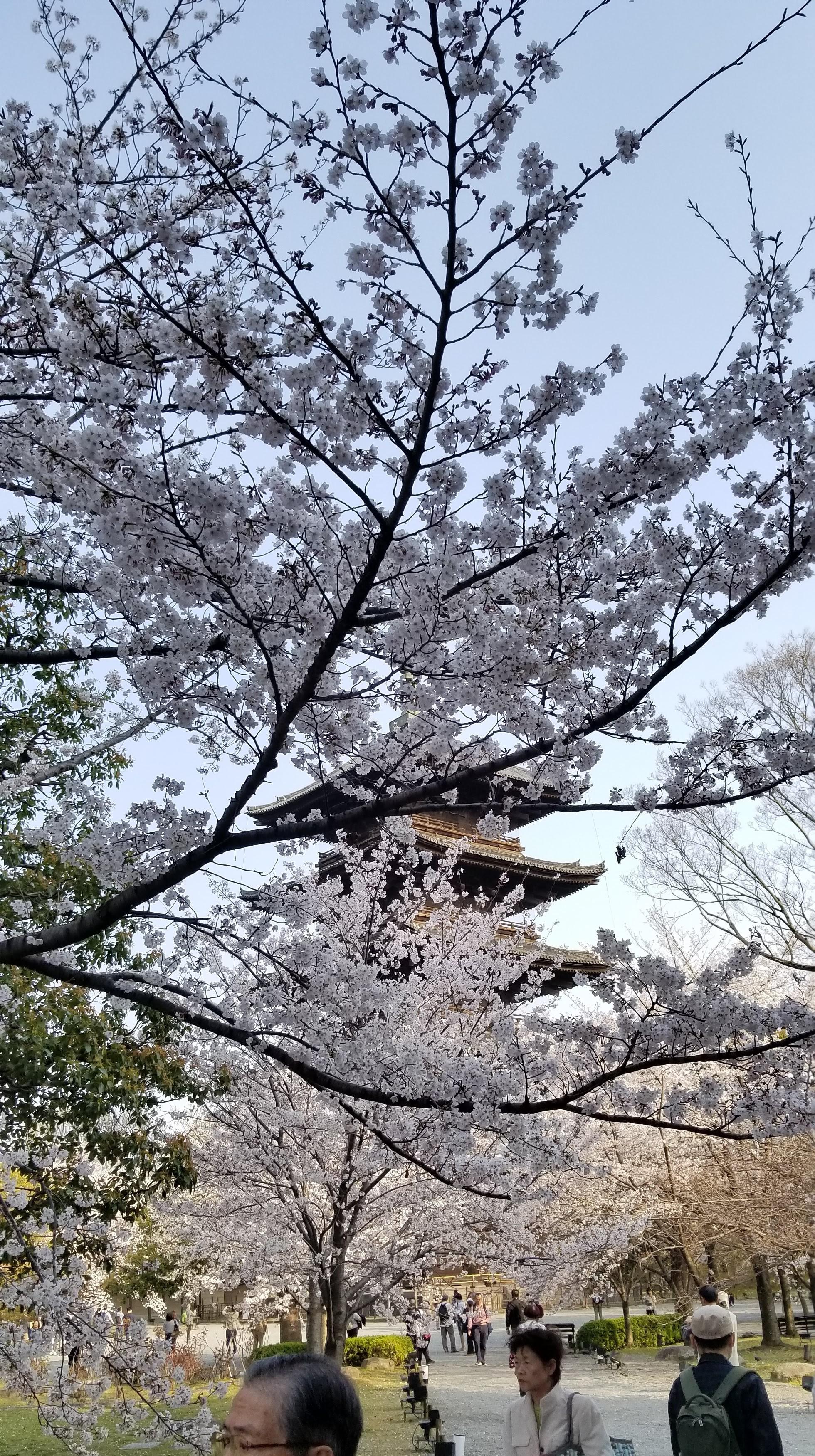 Pagoda through Sakura