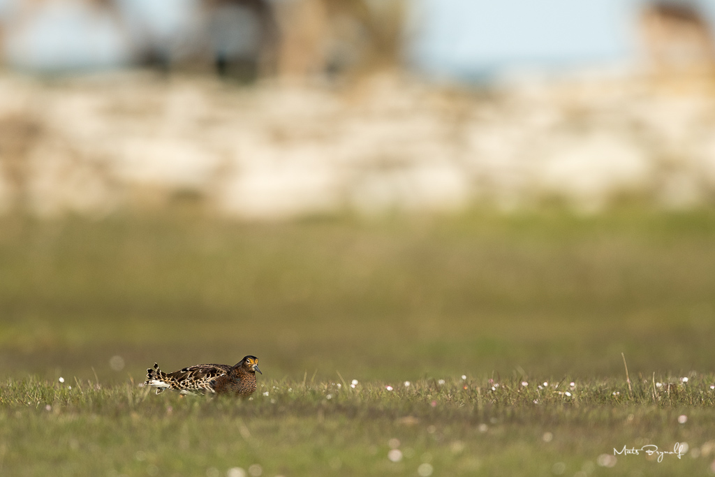 Ruff resting in the meadow at Ottenby, Sweden