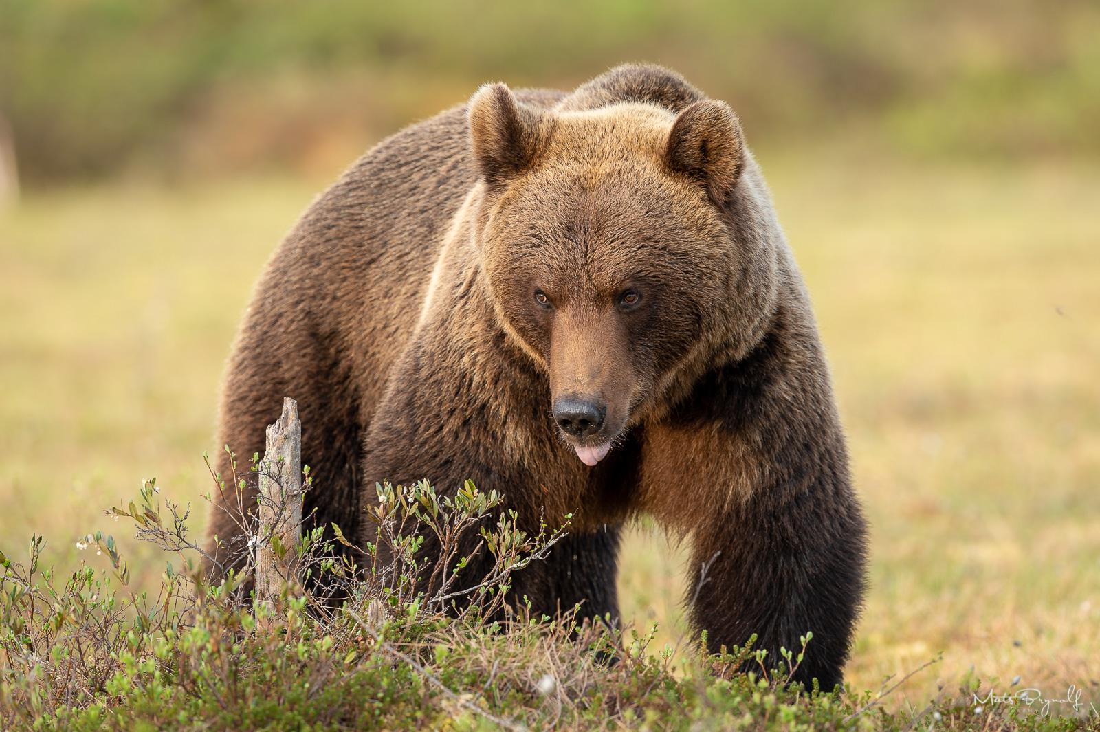 Bear on the bog in evening sunlight