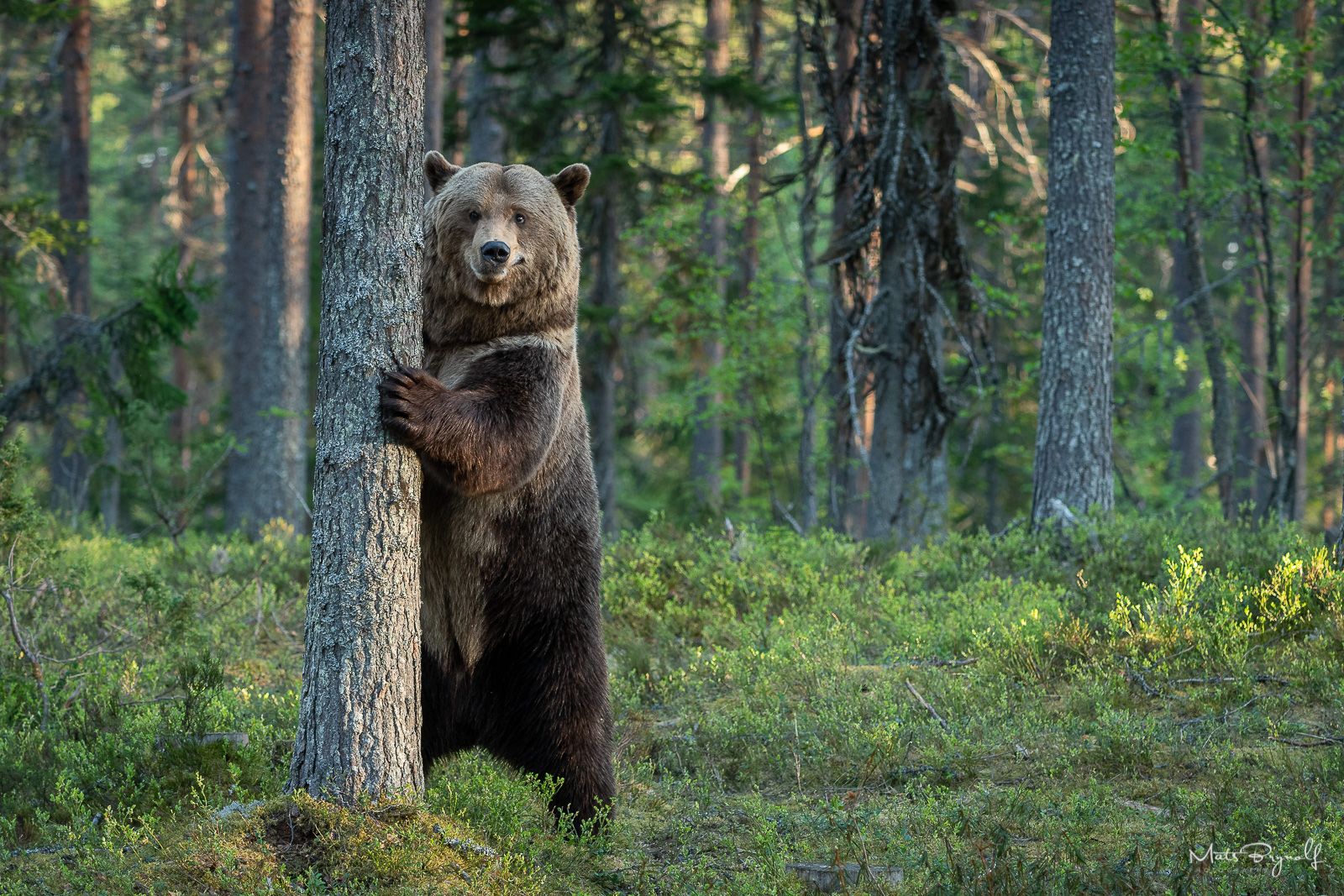 Curious bear trying to figuare out what our hides are