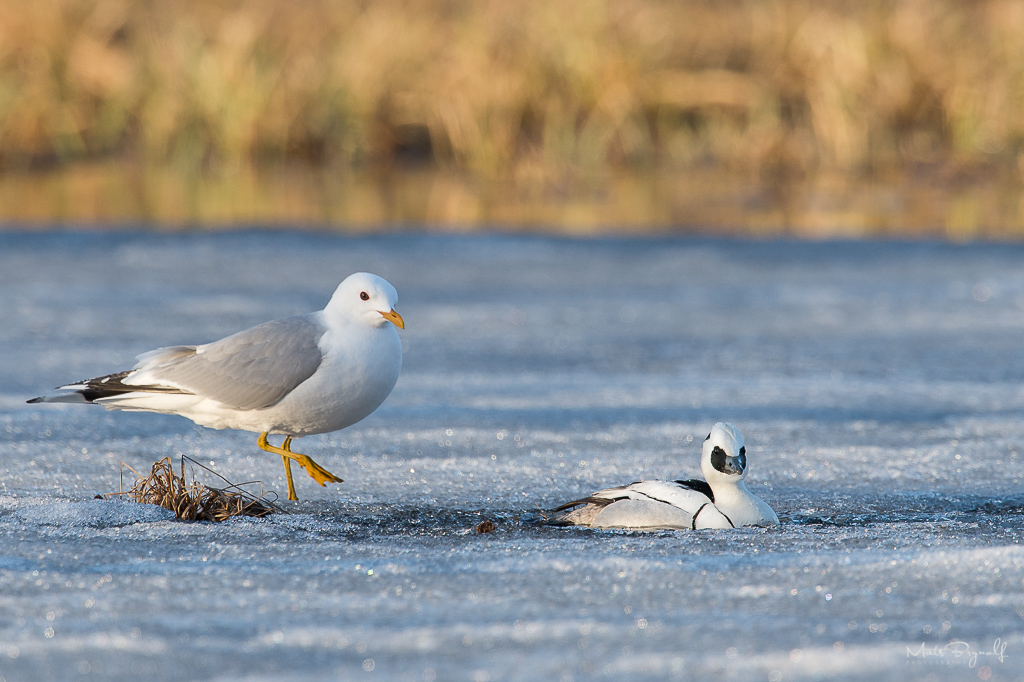 European herring gull and Smew