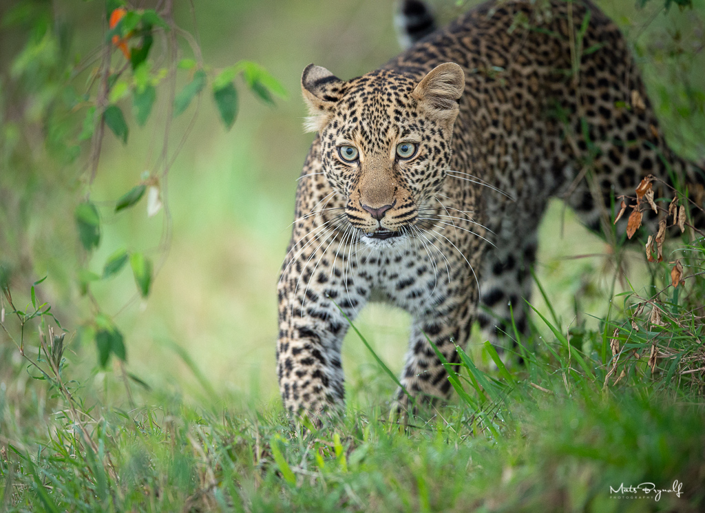 Lepard coming out of from the bushes