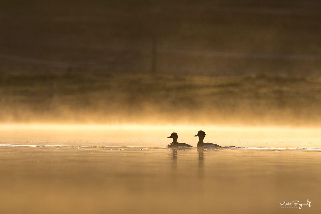 Early spring morning in small pond. I took this image just as the sun came up and two tufted ducks swam past.   f6.3, 1/1250sec, ISO 400