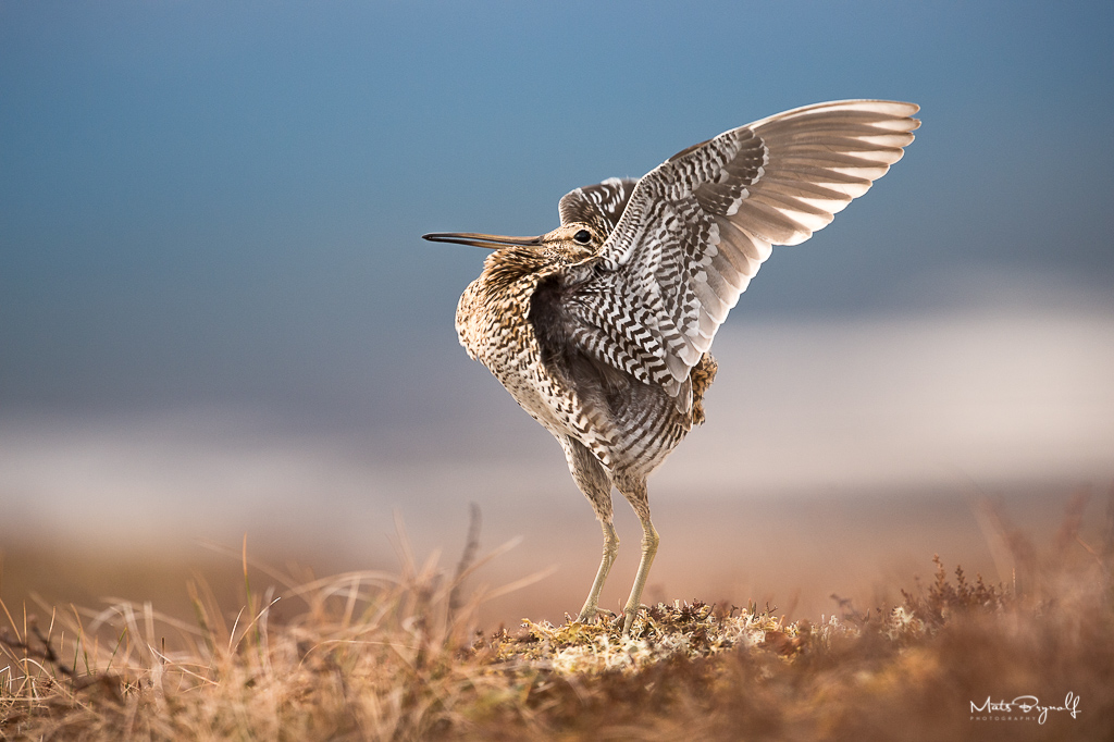 Early morning in June on the mountain the Common Snipe starts to do their mating displays. The stance above is only for a second and is the peak moment.   f5, 1/500sec, ISO1600