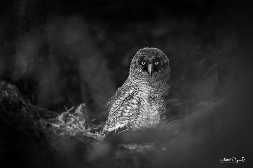I had the great privilege to spend a lot of time with 3 young Great Grey Owls and their parents. Unfortunately one did not make it. It's hard to tell exactly what happened to it, but my guess is that he got injured falling down from a tree. I like this image because it shows the darkness of the forest and some light hits the owl.   f4, 1/200sec, ISO 280